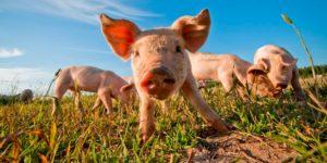 Ветеринарні препарати для свиней птахів